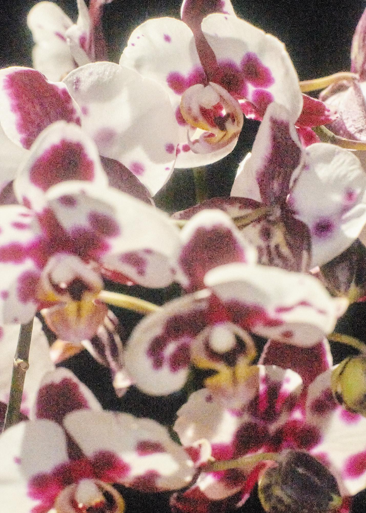 OrchidOnBlack__S03_167